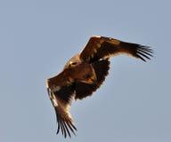καλύτερη στέπα θηραμάτων nipalensis αετών πουλιών aquila rapax Στοκ φωτογραφίες με δικαίωμα ελεύθερης χρήσης