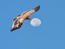 καλύτερη στέπα θηραμάτων nipalensis αετών πουλιών aquila rapax Στοκ Εικόνες