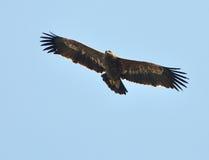 καλύτερη στέπα θηραμάτων nipalensis αετών πουλιών aquila rapax Στοκ φωτογραφία με δικαίωμα ελεύθερης χρήσης