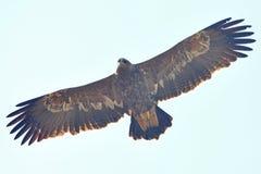 καλύτερη στέπα θηραμάτων nipalensis αετών πουλιών aquila rapax Στοκ Εικόνα