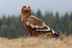 καλύτερη στέπα θηραμάτων nipalensis αετών πουλιών aquila rapax Στοκ Φωτογραφία