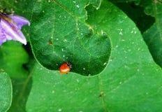 Κα 02 ladybug Στοκ Εικόνες