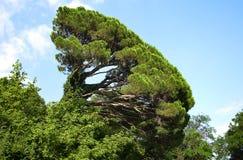 κεκλιμένο δέντρο Στοκ Εικόνες