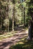 κενή δασική πορεία μεταξύ των μεγάλων κομψών δέντρων στοκ εικόνες