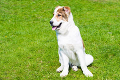 Κεντρικά ασιατικά καθίσματα κουταβιών σκυλιών ποιμένων Στοκ εικόνες με δικαίωμα ελεύθερης χρήσης