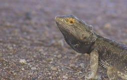 Κεντρικός γενειοφόρος δράκος Pogona vitticeps στο κόκκινο αμμοχάλικο στοκ εικόνες