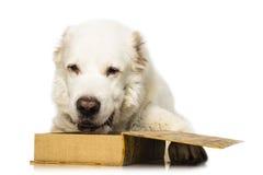 Κεντρικό ασιατικό σκυλί ποιμένων Στοκ εικόνα με δικαίωμα ελεύθερης χρήσης