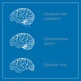 Κεντρικό νευρικό σύστημα Στοκ εικόνα με δικαίωμα ελεύθερης χρήσης