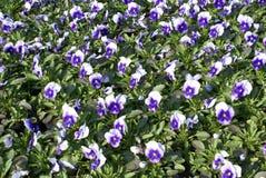 Κεντρικό προϊόν κήπων των pansy λουλουδιών Στοκ φωτογραφίες με δικαίωμα ελεύθερης χρήσης