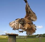 κεντρικό fenton θήραμα πουλιών Στοκ φωτογραφίες με δικαίωμα ελεύθερης χρήσης