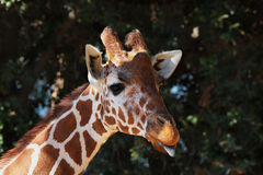 κεντρικό giraffe γλώσσα Στοκ Φωτογραφία