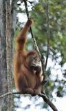 Κεντρικό orangutan Bornean wurmbii pygmaeus Pongo στο δέντρο στο φυσικό βιότοπο Άγρια φύση στο τροπικό τροπικό δάσος του Μπόρνεο Στοκ φωτογραφία με δικαίωμα ελεύθερης χρήσης
