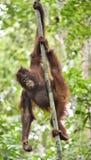 Κεντρικό orangutan Bornean wurmbii pygmaeus Pongo στο δέντρο στο φυσικό βιότοπο Άγρια φύση στο τροπικό τροπικό δάσος του Μπόρνεο Στοκ φωτογραφίες με δικαίωμα ελεύθερης χρήσης