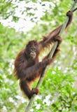 Κεντρικό orangutan Bornean wurmbii pygmaeus Pongo στο δέντρο στο φυσικό βιότοπο Άγρια φύση στο τροπικό τροπικό δάσος του Μπόρνεο Στοκ Εικόνες