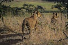 Κενυατικό σαφάρι στο εθνικό πάρκο το 2011 Στοκ εικόνες με δικαίωμα ελεύθερης χρήσης