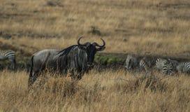 Κενυατικό σαφάρι στο εθνικό πάρκο το 2011 Στοκ Εικόνα