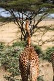 Κενυατικό σαφάρι στο εθνικό πάρκο το 2011 Στοκ Εικόνες