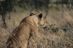 Κενυατικό σαφάρι στο εθνικό πάρκο το 2011 Στοκ Φωτογραφίες