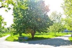Κενός ξύλινος πάγκος κάτω από το ανθίζοντας κάστανο στο κεντρικό πάρκο σε μια ηλιόλουστη ημέρα άνοιξη στοκ φωτογραφία με δικαίωμα ελεύθερης χρήσης