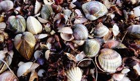 Κενό clamshell Cerastoderma στις τράπεζες Στοκ φωτογραφία με δικαίωμα ελεύθερης χρήσης