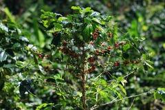 Κεράσια καφέ φασολιών καφέ ή δέντρο καφέ Στοκ εικόνα με δικαίωμα ελεύθερης χρήσης