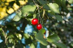 Κεράσια στο δέντρο Στοκ φωτογραφία με δικαίωμα ελεύθερης χρήσης