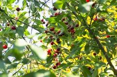 Κεράσια στο δέντρο Στοκ εικόνα με δικαίωμα ελεύθερης χρήσης