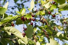 Κεράσια στο δέντρο Στοκ Εικόνα