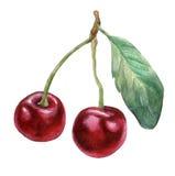 3 κεράσια Συρμένη χέρι ζωγραφική watercolor διανυσματική απεικόνιση