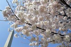 Κεράσι-άνθη άνοιξης στο Washington DC Στοκ Εικόνα