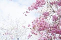 κεράσι Ιαπωνία ανθών στοκ φωτογραφία με δικαίωμα ελεύθερης χρήσης