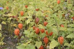 κεράσι κύστεων με τα φωτεινά πορτοκαλιά φρούτα φαναριών στοκ φωτογραφία