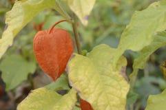 κεράσι κύστεων με τα φωτεινά πορτοκαλιά φρούτα φαναριών στοκ εικόνες