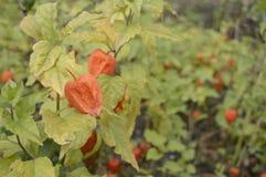 κεράσι κύστεων με τα φωτεινά πορτοκαλιά φρούτα φαναριών στοκ εικόνες με δικαίωμα ελεύθερης χρήσης