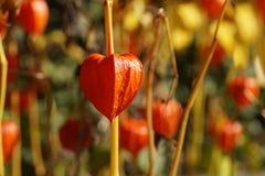 Κεράσι κύστεων alkekengi Physalis, κινεζικό φανάρι, ιαπωνικός-φανάρι, φράουλα groundcherry, ή χειμώνας στοκ φωτογραφίες
