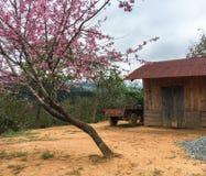 Κεράσι που ανθίζει στο σπίτι σε Dalat, Βιετνάμ Στοκ φωτογραφία με δικαίωμα ελεύθερης χρήσης