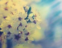 Κεράσι που ανθίζει, υπόβαθρα άνοιξη ομορφιάς Στοκ Φωτογραφίες