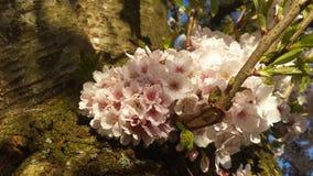 Κεράσι Blossem 6 Japanse Στοκ Φωτογραφία