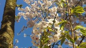 Κεράσι Blossem 7 Japanse Στοκ Εικόνα