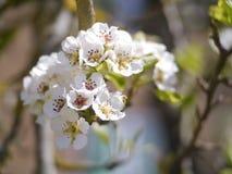 Κεράσι blosson Στοκ Φωτογραφίες