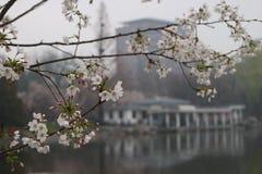Κεράσι Yoshino στο πάρκο Κίνα του Πεκίνου Yuyuantan Στοκ Φωτογραφία