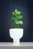 Κεραμικό flowerpot δέντρων του Μπους Στοκ φωτογραφίες με δικαίωμα ελεύθερης χρήσης