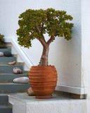 κεραμικό flowerpot φυτό νεφριτών Στοκ Φωτογραφίες