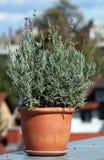 κεραμικό lavender δοχείο Στοκ εικόνες με δικαίωμα ελεύθερης χρήσης
