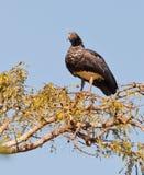 Κερασφόρος φωνακλάς στο δέντρο Στοκ Εικόνα