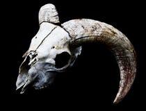 Κερασφόρο κεφάλι κρανίων προβάτων κριού στο μαύρο υπόβαθρο Στοκ Εικόνες