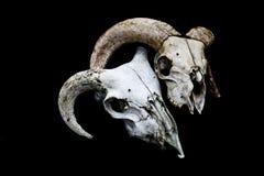 Κερασφόρο κεφάλι κρανίων προβάτων κριού στο μαύρο υπόβαθρο Στοκ εικόνα με δικαίωμα ελεύθερης χρήσης