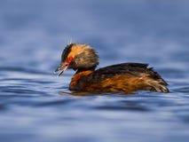 Κερασφόρο πουλί Grebe Στοκ Φωτογραφίες