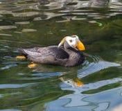 Κερασφόρο πουλί Puffin αντανάκλασης στο νερό στοκ φωτογραφίες