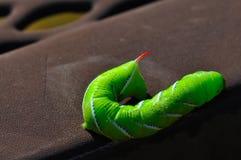 κερασφόρο σκουλήκι ντο& Στοκ εικόνα με δικαίωμα ελεύθερης χρήσης